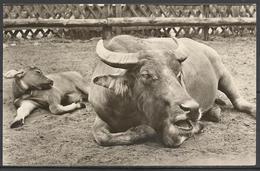 Germany (D.R), Berlin Zoo, Water Buffalo, 1957. - Bull