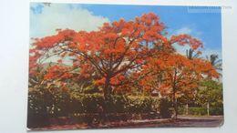 D166801 Trinidad & Tobago  - Flamboyant -Poniciana - Trinidad