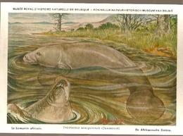 Belgium ** & Postal, Musée D'Histoire Naturelle De Belgique, Le Lamantin Africain, Trichechus Manatus (31) - Belgien