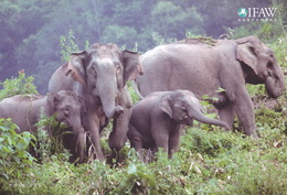 China - Asian Elephant, IFAW China Postcard - Olifanten