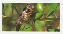 CIGALE PROVENCE Carte Postale N° 43 SUD DE LA FRANCE - Animaux & Faune