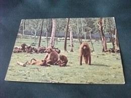BABBUINO BABOUIN BABOON DER PAVIAN AFFE AFRICA ZOO SAFARI LAGO MAGGIORE POMBIA NOVARA - Scimmie