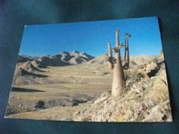 PIANTA GRASSA CACTUS HALFMENS OR HALF HUMAN PLANT RICHTERVELD - Cactus