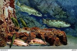 3734-2018   AQUARIUM DE MONACO   VIEILLES ROUQUIERS SEA-WRASSES TORDI LIPPFISCHE - Oceanographic Museum