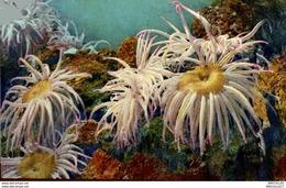 3737-2018   AQUARIUM DE MONACO   ANAMONES DE MER - Oceanographic Museum