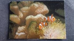 CPM POISSONS CLOWNS ORANGES OCEAN INDIEN AQUARIUM DE SAINT MALO N° 1 PHOTO M SESTER - Poissons Et Crustacés