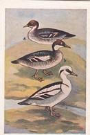Sammelbild Sumpf- Und Wasservögel - Tafel 144 - Friedrich Kaiser, Bregenz - Kaiser's Brust-Caramellen  (43068) - Süsswaren