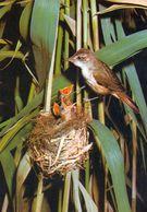 1 AK Drosselrohrsänger Bei Der Fütterung *  Vögel  * Tiere * - Vögel