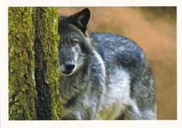 Wolf - Wolves - Loup - Lupo - Lobo - Animal - Animaux - Fauna - Faune - Animaux & Faune