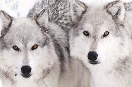 Wolf - Wolves - Loup - Lupo - Lobo - Animal - Animaux - Fauna - Faune - Animals
