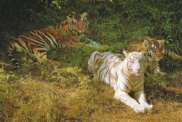 Tiger - Tigre - Tijger - Animal - Animaux - Fauna - Faune - Tigres