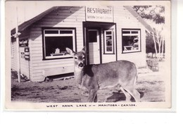 Real Photo ! Deer Looking For Lunch, West Hawk Lake, Manitoba ! - Manitoba