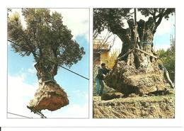 Cp  Olives,  Olivier Oliviers Oliveraie,  Olivo  Villeveyrac Hérault - Trees