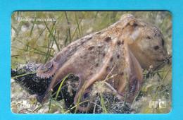 Eledone Moschata ( Croatia )  Undersea – Underwater - Marine Life – Fish – Fisch – Poisson – Pez – Pesci - Croatie