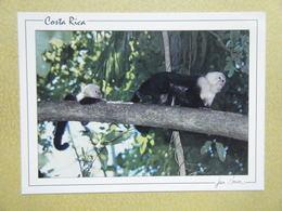 COSTA RICA. Les Singes à Face Blanche. - Costa Rica