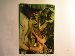 Agriculture - Cultures - Récolte Du Maïs - Cultures