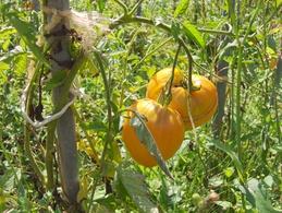 20 Graines De Tomate COEUR DE BOEUF ORANGE( BIO) - 2. Graines