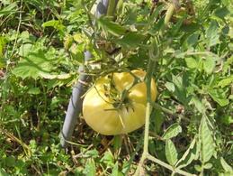 20 Graines De Tomate WHITE BEAUTY(beautée Blanche)( BIO) - 2. Semi