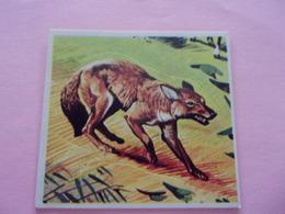 PANINI SUPER ZOO N°138 Cuon Indiano  Dhole Indische Wilde Hond Indian Wild Dog Indischer Kuon - Panini
