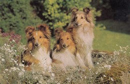 Postcard Close Up Rough Collie Dogs My Ref  B13588 - Dogs