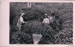 Inde, Darjeeling Bengale-Occidental, La Cueillette Ou La Récolte Du Thé (12) - India