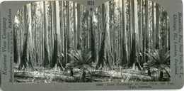 Australia ~ LOGGING 400 FOOT HIGH EUCALYPTUS TREE GUM TREE 15987 1029x NEAR MINT - Stereoscoop