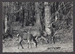 89909/ FAUNE D'EUROPE, Ardennes Belges, Un Cerf Et Ses Biches - Animali