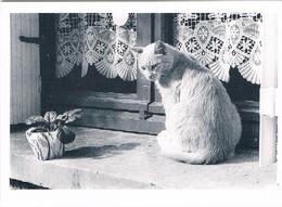 Chat Blanc- Cat -katzen -poes Aan Venster - - Gatti
