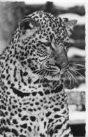 AK 0311  Tiergarten Hellbrunn - Bergleopard / Verlag Gründler Um 1950-60 - Katzen