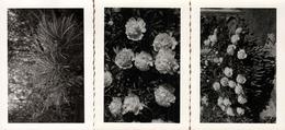 3 Photos Originales Nature Artistique Et Abstraite Autour De Fleurs De Pivoines & Herbes Folles Vers 1940/50 - Objets