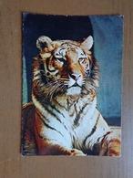 Bengaalse Tijger In Artis (zoo) -> Beschreven - Tigres