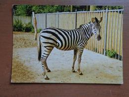 Zebra / Vogel En Dierenpark De Vleut Te Best (Nederland) - Garantzebra -> Beschreven - Zèbres