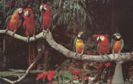 "AN45 Animals, Birds - Parrots At The ""Parrot Jungle"" Near Miami - Birds"