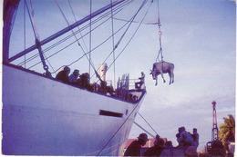 (99). Ile Maurice. Rodrigues. Bateaux. Embarquement De Boeufs - Maurice