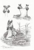 BUZIN.. GREBE HUPPE - 1985-.. Birds (Buzin)