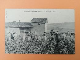 Saint Didier Sur Riverie Les Vendanges à Marin - France
