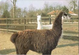 Pl 004 / ZOO Palic, Lama - Tierwelt & Fauna