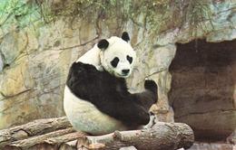 "Postcard Of Giant Panda ""Chi - Chi"" At London Zoo (29619) - Animali"