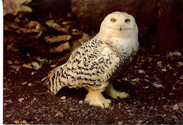 CPSM  Laponie Chouette De Harfang - Oiseaux