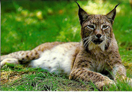 CPSM  Lynx - Autres