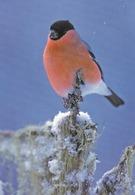 Bird - Birds - Oiseau - Vogel - Uccello - Pássaro - Bullfinch In Winter Landscape - Birds