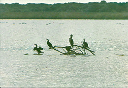 Rifugi Faunistici E Oasi Del W.W.F., Cormorano (Phalacrocorax Carbo) - Vögel