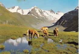 Tiroler Haflinger Im Ötztal - PK Nicht Gelaufen - Pferde