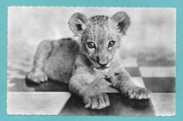 LEONI LE PETIT LION D'AFRIQUE - Lions