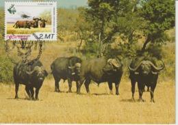 Mozambique Carte Maximum Animaux 1981 Buffles 826 - Mozambique