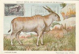 Carte Maximum  - Afrique Equatoriale - Mammifères Protégées Au Congo Belge - Antilope Eland - Congo Belge - Autres