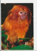 Zoo Parc De Beauval Singe Tamarin Lion  CP68/51 - Monkeys