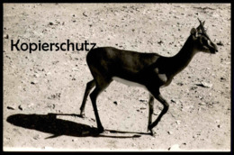 ALTES ORIGINAL FOTO GAZELLE SPRINGBOCK Springbok Impala Antilope Afrika Africa Karte Cpa Photo Postcard - Afrika