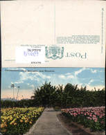629514,Chrysanthemums At Moanalua Near Honolulu Hawaii - Ansichtskarten