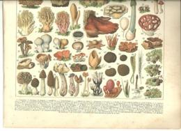 2 Grandes Gravures Planches Originales Champignons 1900 Truffe Culture Champignon Spores Cèpe Morille - Ohne Zuordnung